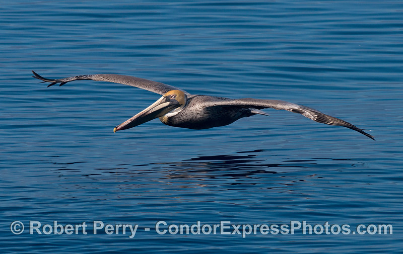 A blue-eyed brown pelican soars across the glassy ocean surface.