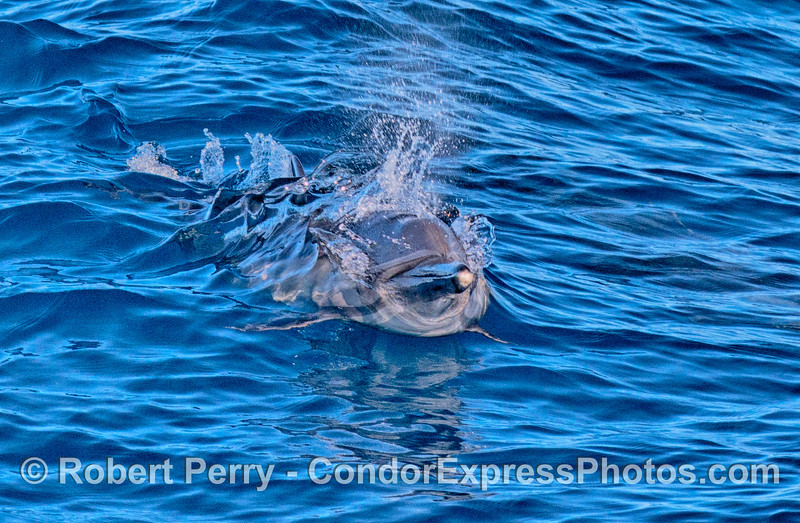 Close up look at a long-beaked common dolphin that is just starting a leap.