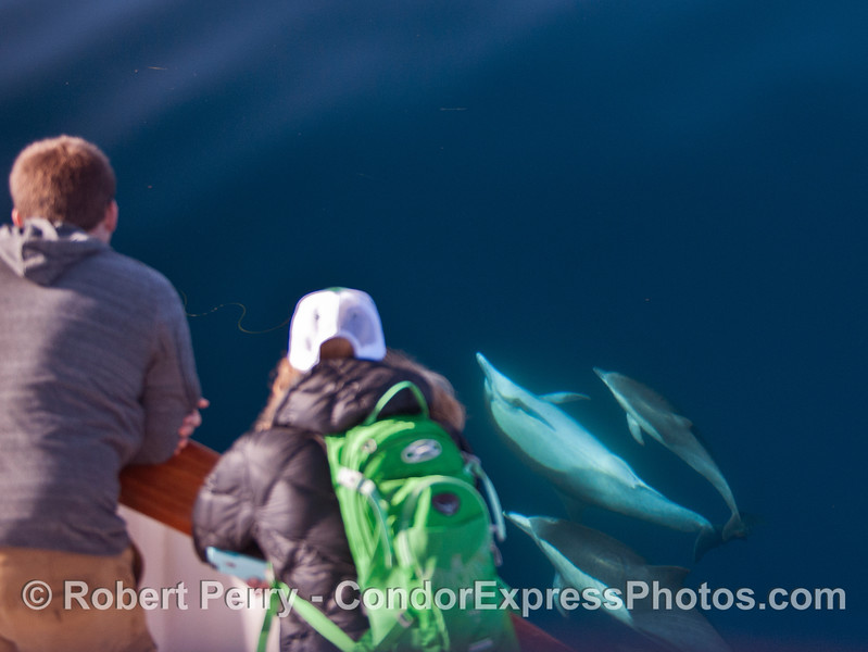 A long-beaked common dolphin turns upside down to take a look at its fan club on the boat.