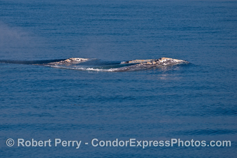 A trio of southbound gray whales.