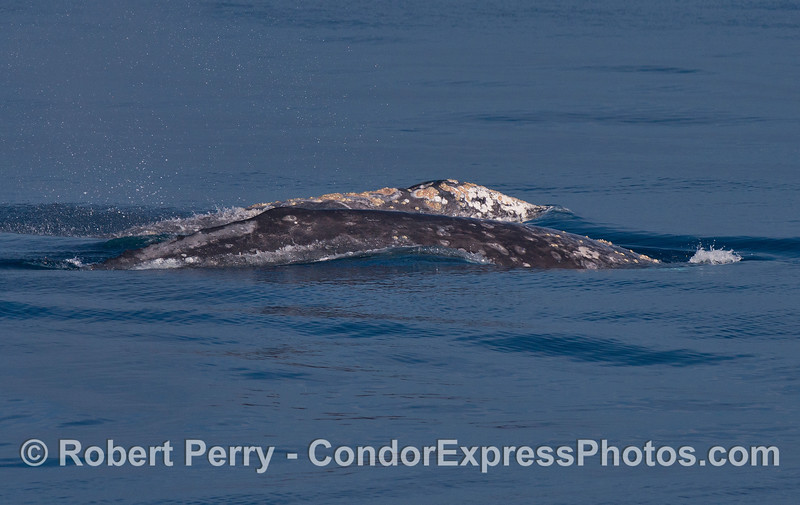 Two gray whales side-by-side.