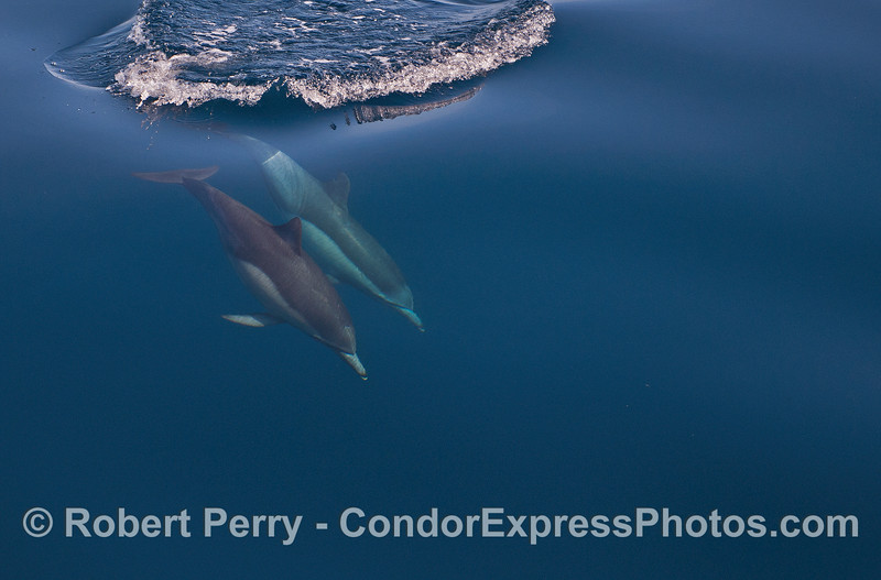 Mirror glass calm conditions and two long-beaked common dolphins descend into the depths of the sea.