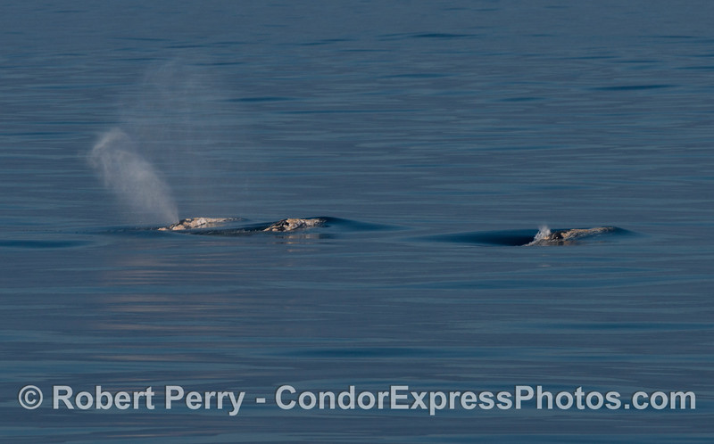 Three gray whales on the surface, side-by-side.