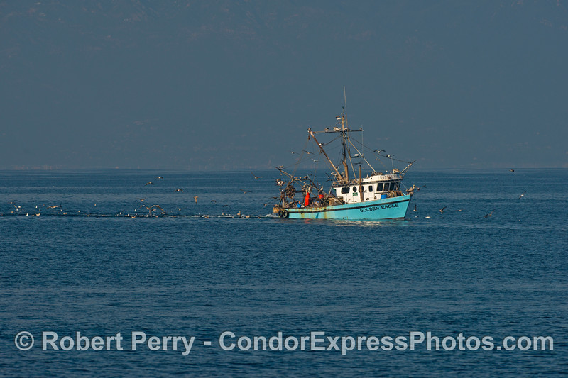 "The bottom trawler ""Golden Eagle"" with its seabird entourage."
