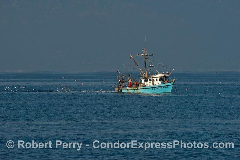 "The bottom trawler ""Golden Eagle"" with its seabird entourage."