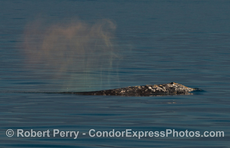 A gray whale spout creates a rainbow spray pattern in the afternoon sun.