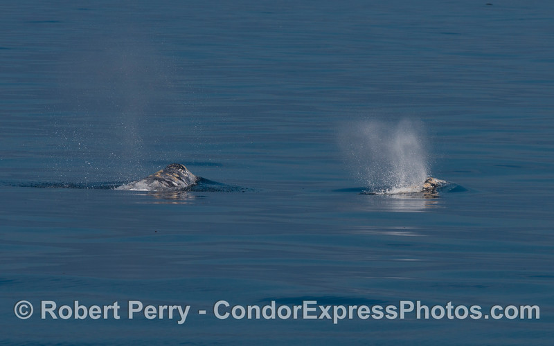 Two gray whales from a pod of three.