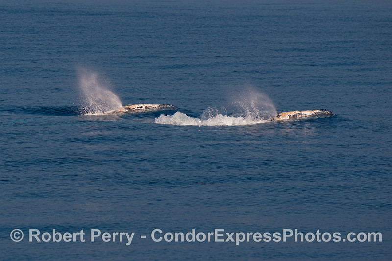 Twin spouts - gray whales migrating south to Baja California.
