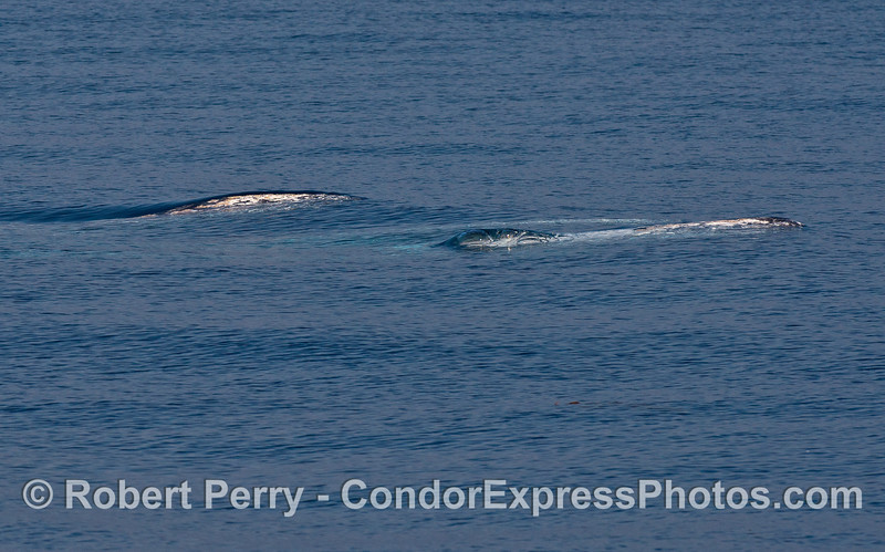 Three gray whales travel just beneath the surface.