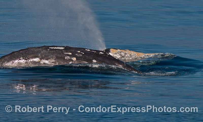 A close look at two gray whales - one diving and one spouting.