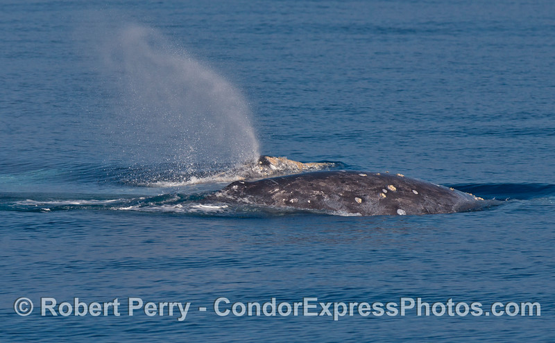 Two gray whales - one spouting.