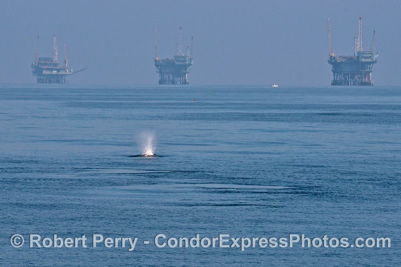 Offshore oil platforms A, B and Hillhouse with an on-coming gray whale.