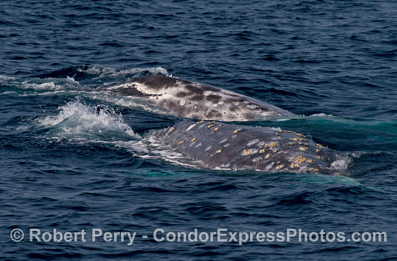 Note the different coloration patterns as two gray whales make a friendly visit to the Condor.