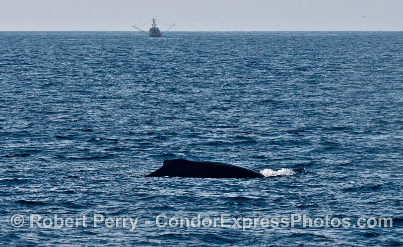 "A humpback whale named ""Top Notch"" is a regularly seen individual in our area."