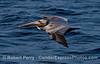 A majestic brown pelican soars across the blue water.