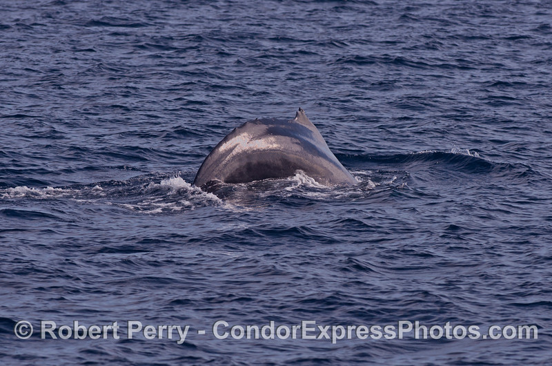 """Top Notch,"" the humpback whale arches up for a dive.  It's dorsal fin notch can be seen."