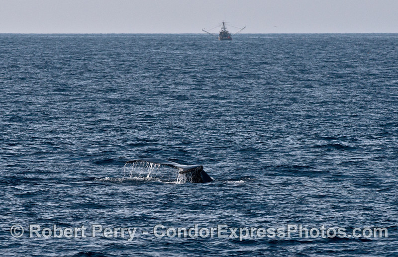 Humpback whale tail flukes and a commercial fishing trawler in back.