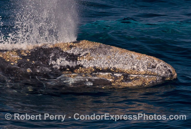 Extreme close up shot of a friendly gray whale showing its barnacle encrusted head, mouth and spout.