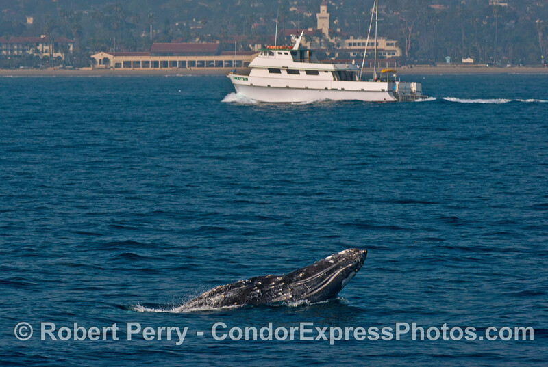 "Dive boat ""Conception"" passes by a breaching gray whale as it enters Santa Barbara Harbor."