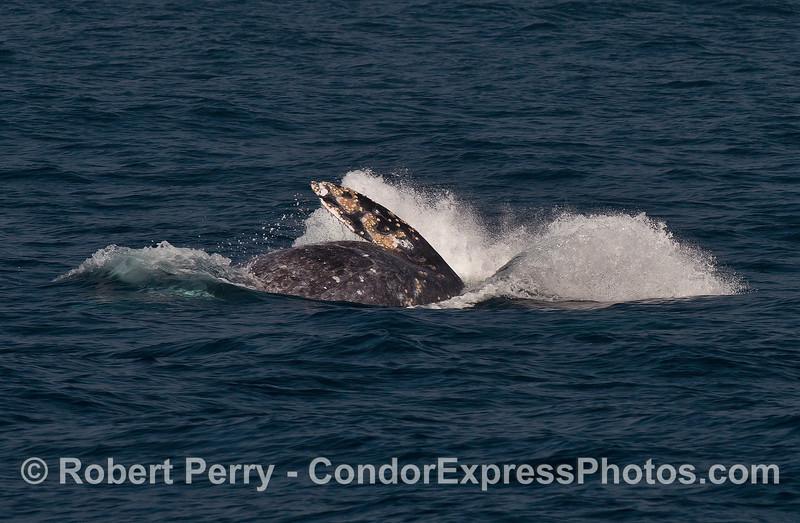 Breaching gray whale.