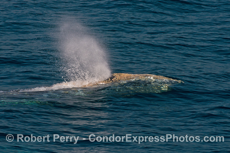 Clear water, friendly gray whale...what a day!