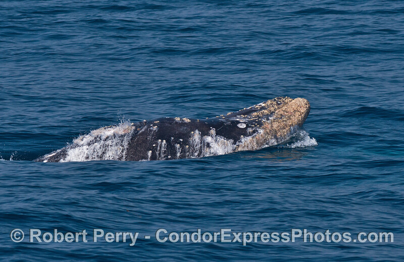 Upside down gray whale.