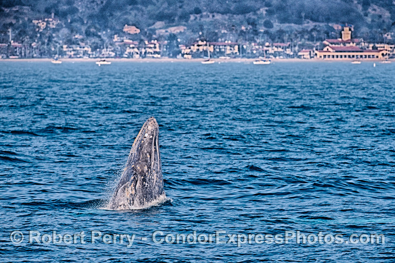 Breaching gray whale.