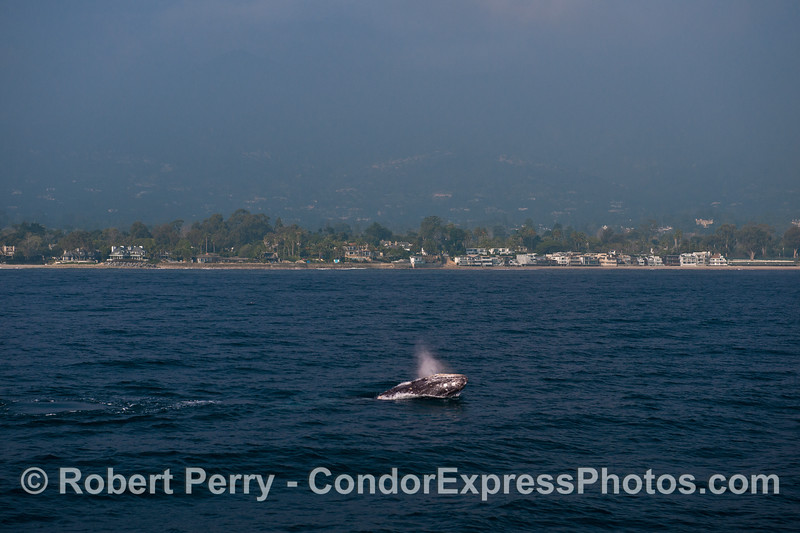 The beautiful Santa Barbara coastline serves as a backdrop for a very active gray whale.  We spent the entire day this close to the beach with southbound gray whales.
