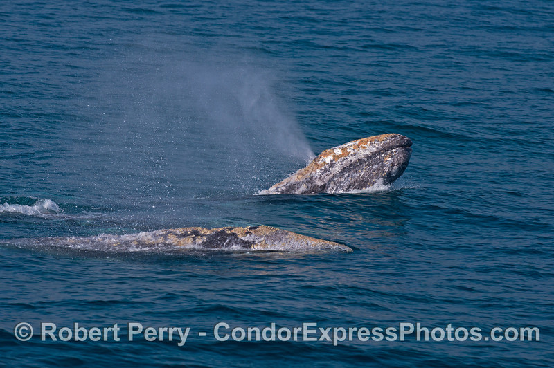 Out of a quad-pod of gray whales, one lifts its chin to look around and spouts at the same time.
