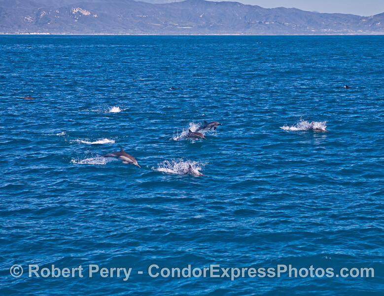A wide angle view of leaping long-beaked common dolphins.