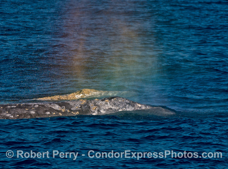 Two gray whales side by side with rainbow spouts.