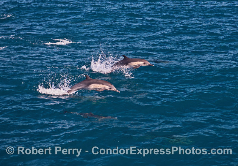 Two leaping common dolphins side-by-side.