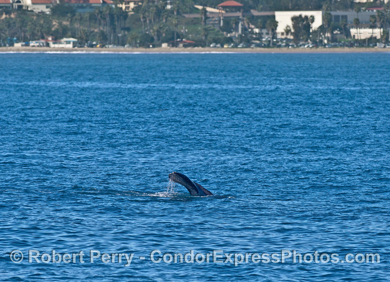 Gray whale tail flukes with the Santa Barbara coastline in back.