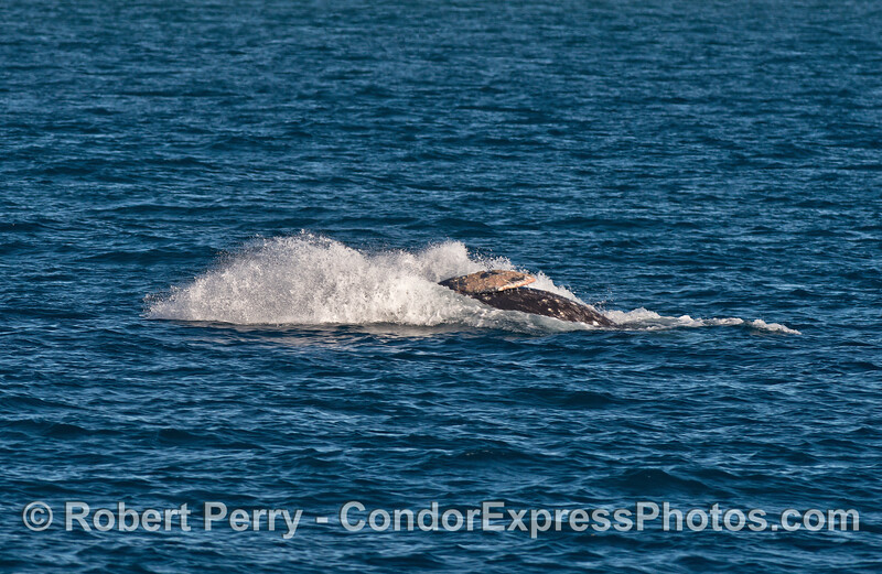 Image 4 of 4:   gray whale breaching sequence.