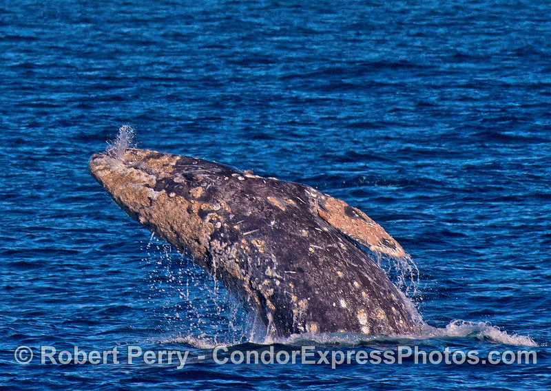 A close look at a breaching gray whale with seawater squirting out of its mouth mid-air.