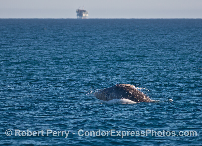Image 3 of 4:   gray whale breaching sequence.