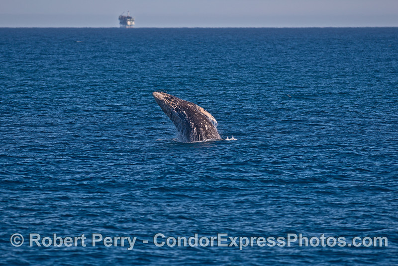 Image 2 of 4:   gray whale breaching sequence.