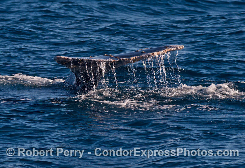 Image 2 of 4:  gray whale tail fluke sequence.