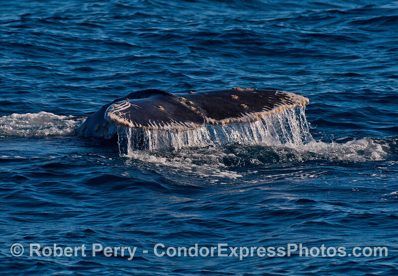 """Image 1 of 4:  gray whale tail fluke sequence.  """"Stripes"""" along the margins of the tail are killer whale teeth marks often called rake marks."""