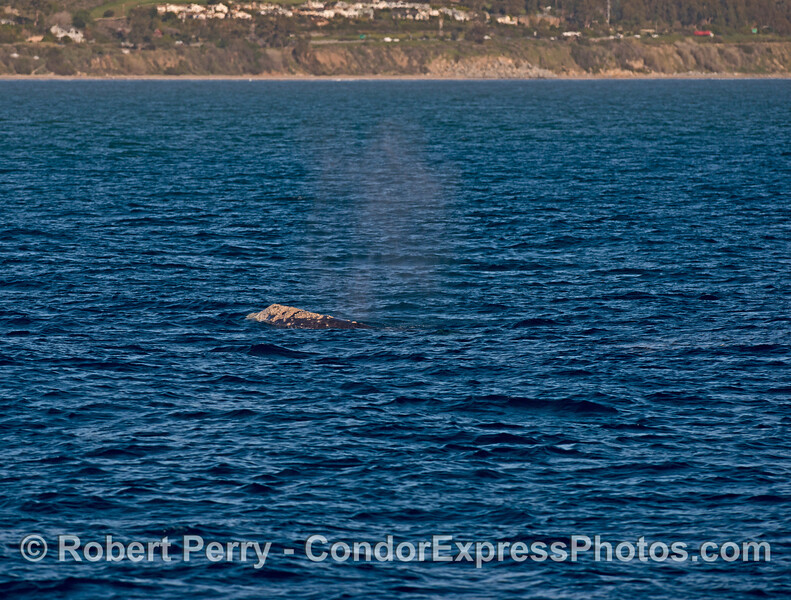 Gray whale near the coast in the afternoon sun.
