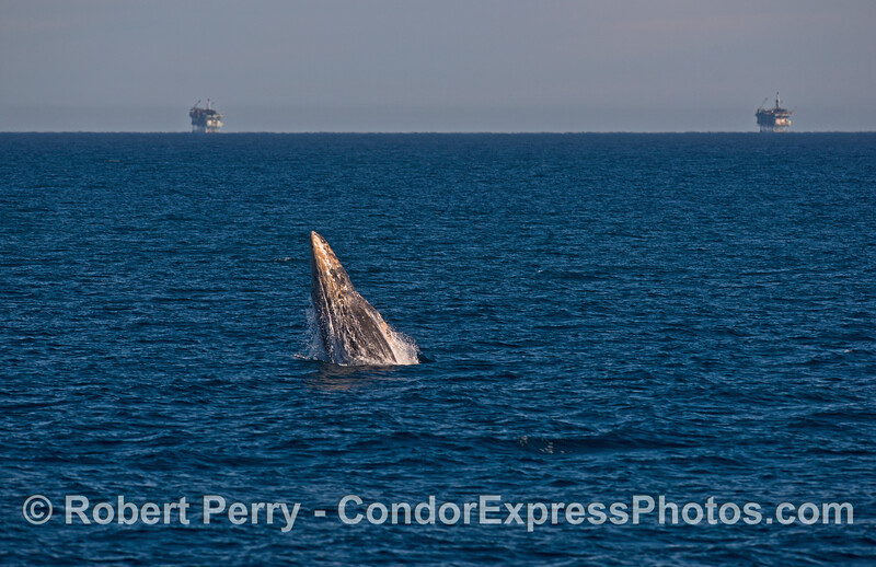Image 1 of 4:   gray whale breaching sequence.