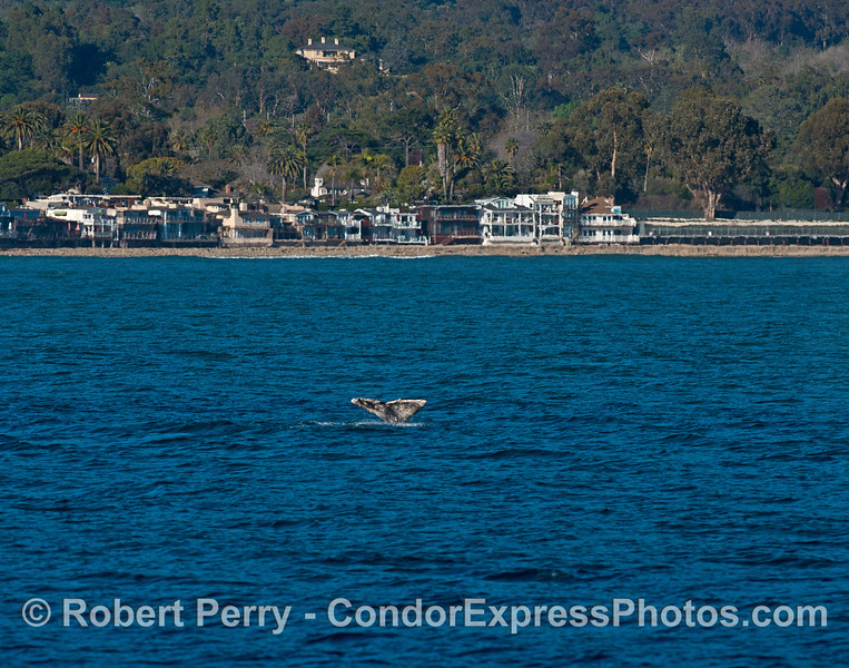 Gray whale tail flukes along the beach - Santa Barbara