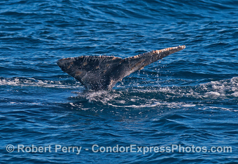 Image 3 of 4:  gray whale tail fluke sequence.