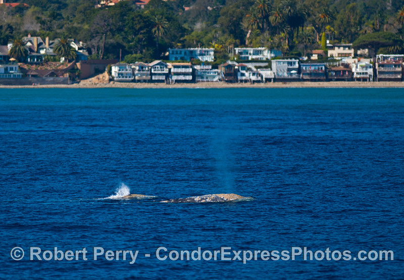Two gray whales spout together as they travel south side-by-side.