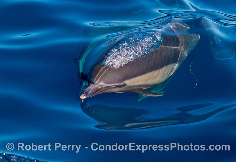 An extremely blue and glassy day to watch long-beaked common dolphins.
