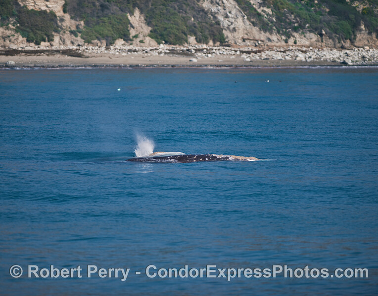 Two southbound migrating gray whales side-by-side.