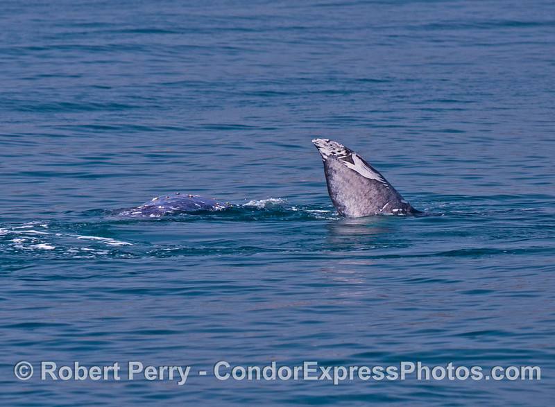 More gray whale socializing.