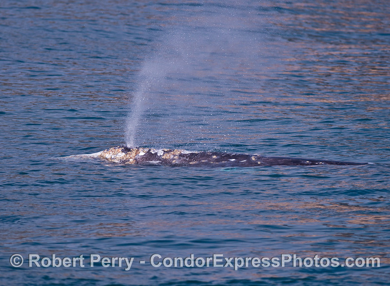 A southbound gray whale is shown temporarily heading north.