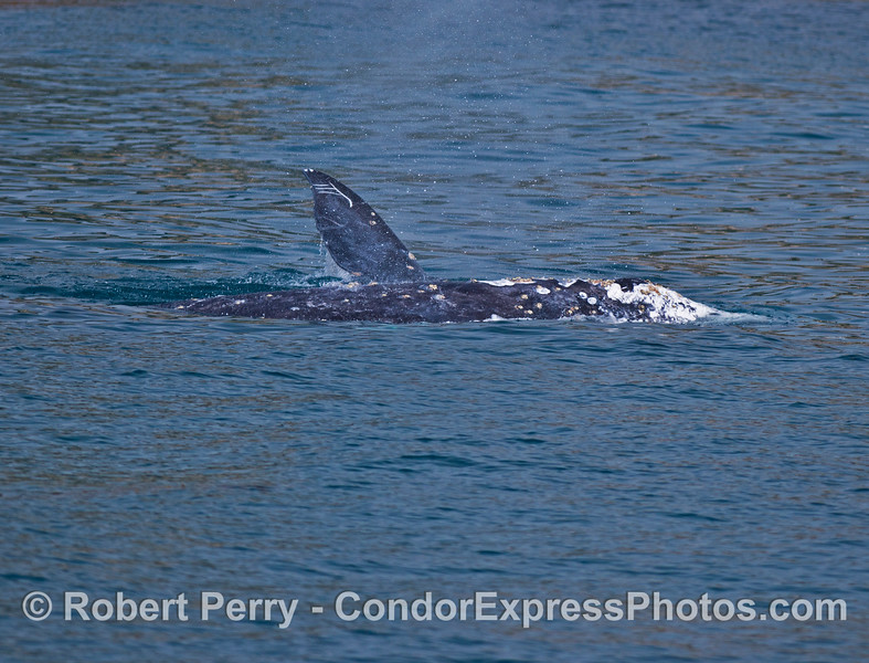 Two whales side-by-side:  a pectoral fin in the air is from the background whale on its side.