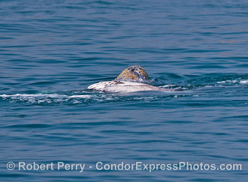 A pectoral fin of one gray whale (right side) is shown on top of a second gray whale (left side).  Gray whales socializing.